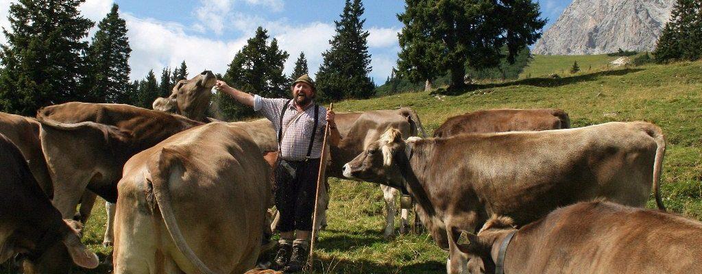 Norbert Kluckners Milchkühe liefern im Almsommer mehr als 20-tausend Liter Milch und 500 Kilogramm Käse. Foto: Knut Kuckel