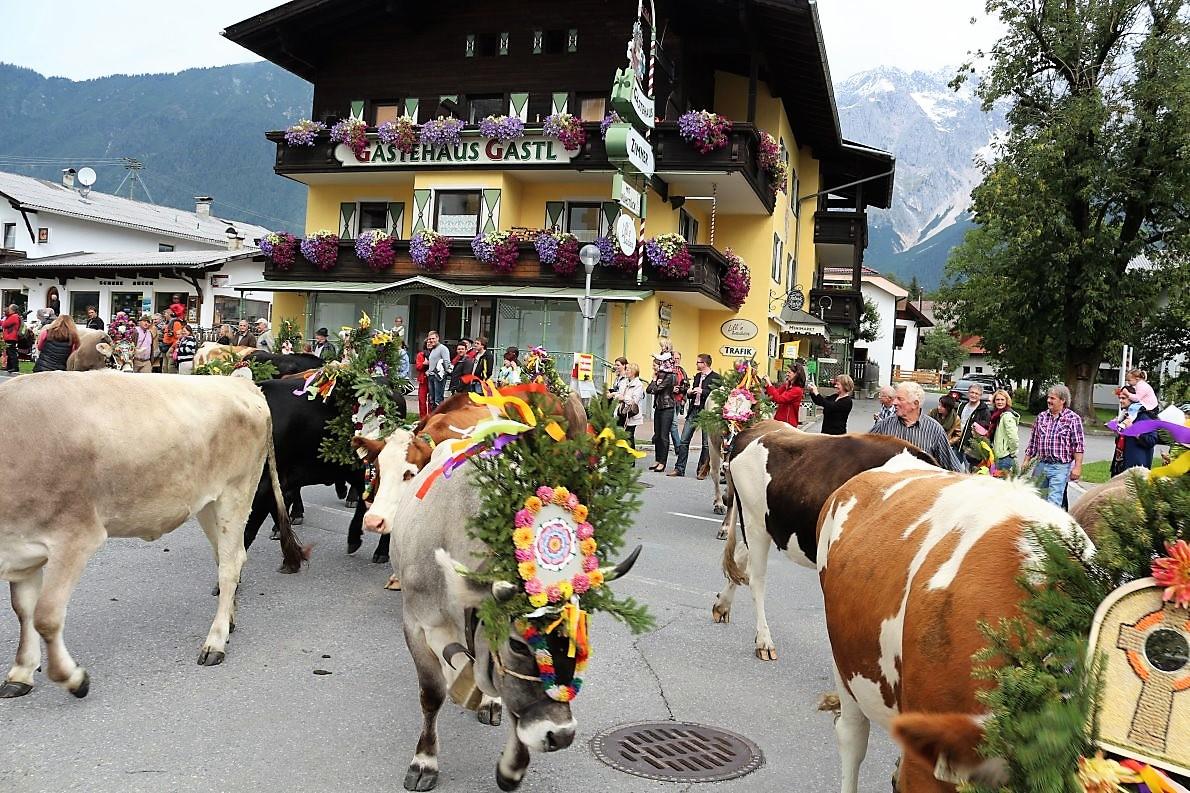 Majestätisch defilierten die vielen Kühe an ihrem großen Publikum vorbei. (Foto: Knut Kuckel)
