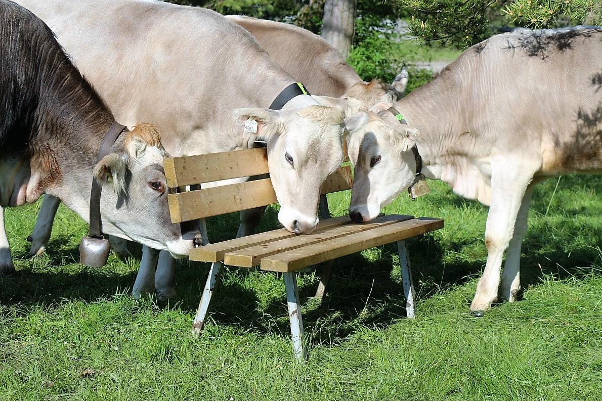 Kühe haben Charakter, sagen die Bauern vom Miemingerberg. (Foto: Knut Kuckel)