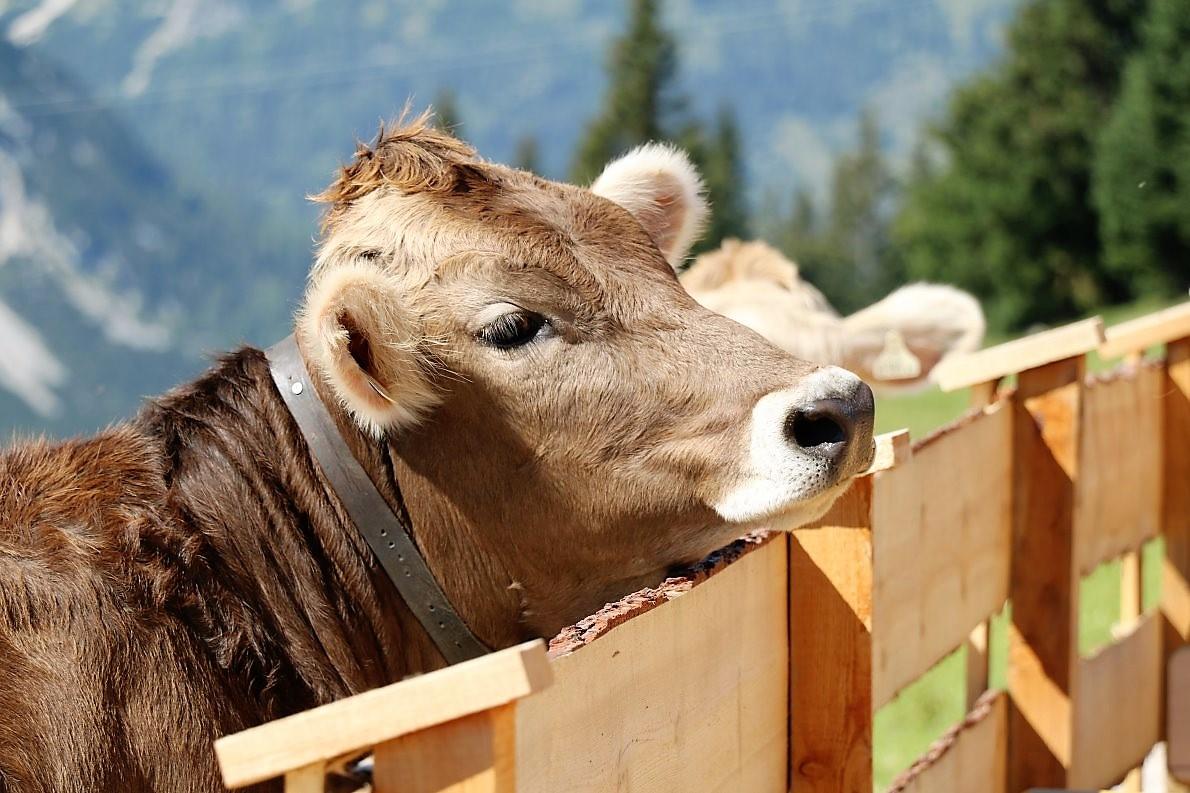 Tag auf der Hochfeldern Alm. Das Vieh schaut interessierter als üblich. (Foto: Knut Kuckel)