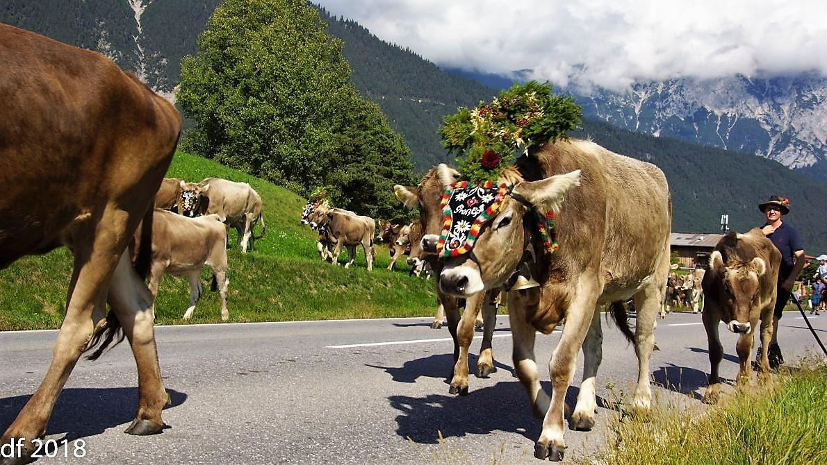 Das Almvieh wurde vor der Ankunft in Obermieming geschmückt, weil im Almsommer kein Tier zu Schaden kam. Foto: Daniel Fischer