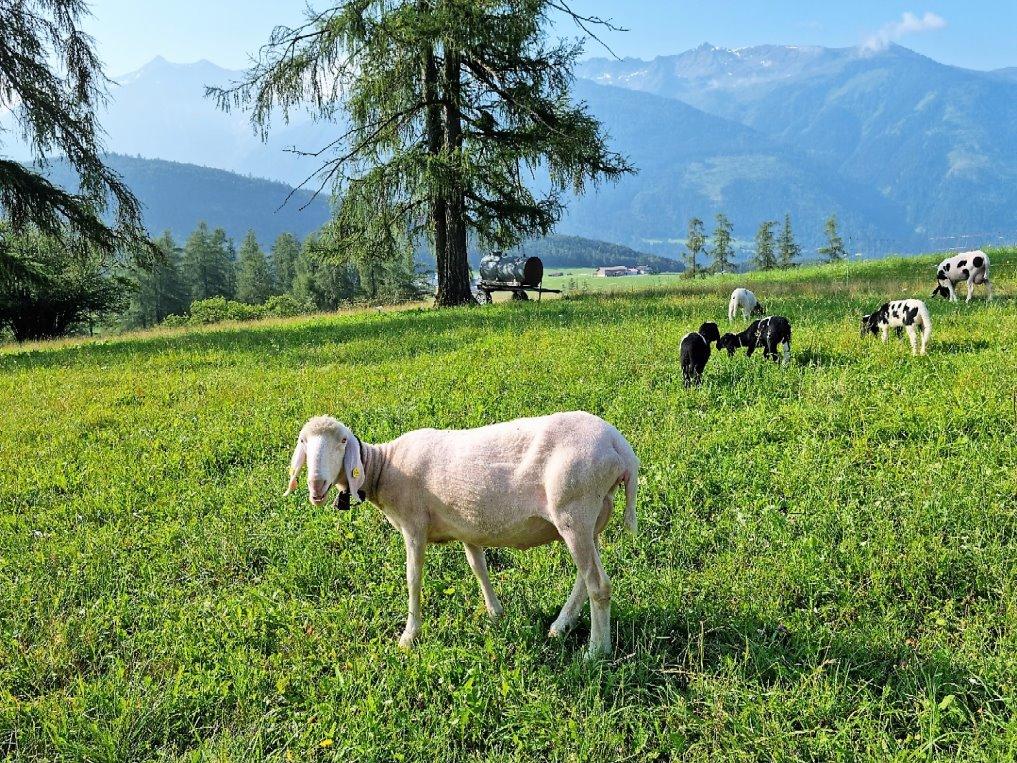 Schafe in Obermieming. (Foto: Knut Kuckel)